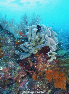 Tube Sponge. Note: dark shadows top left are schooling Bu... by Morgan Ashton 